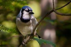 μπλε κλάδος jay Στοκ Εικόνες