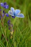 μπλε κοινός Στοκ φωτογραφία με δικαίωμα ελεύθερης χρήσης