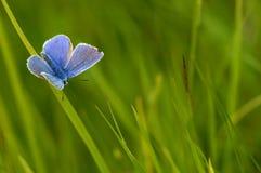 μπλε κοινός Στοκ εικόνες με δικαίωμα ελεύθερης χρήσης