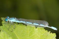 μπλε κοινό αρσενικό enallagma damselfly cyathigerum Στοκ Φωτογραφία