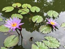 Μπλε κρίνος νερού Lotus Nouchali Nymphaea Στοκ φωτογραφία με δικαίωμα ελεύθερης χρήσης