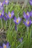 μπλε κρόκος Στοκ φωτογραφία με δικαίωμα ελεύθερης χρήσης