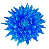Μπλε κυανή ντάλια λουλουδιών που απομονώνεται στο άσπρο υπόβαθρο Κινηματογράφηση σε πρώτο πλάνο Στοκ εικόνα με δικαίωμα ελεύθερης χρήσης