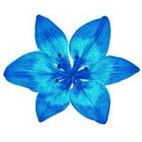 Μπλε κυανός κρίνος λουλουδιών που απομονώνεται στο άσπρο υπόβαθρο Κινηματογράφηση σε πρώτο πλάνο στοκ εικόνα