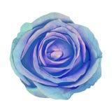 Μπλε κυανός λουλουδιών αυξήθηκε απομονωμένος στο άσπρο υπόβαθρο Κινηματογράφηση σε πρώτο πλάνο στοιχείο σχεδίου Χριστουγέννων κου στοκ φωτογραφία με δικαίωμα ελεύθερης χρήσης