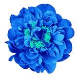 Μπλε κυανός peony λουλουδιών, απομονωμένος σε ένα άσπρο υπόβαθρο Κινηματογράφηση σε πρώτο πλάνο στοκ φωτογραφία με δικαίωμα ελεύθερης χρήσης