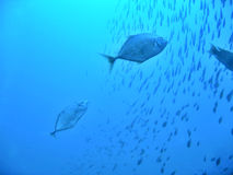 μπλε κυνήγι Στοκ Εικόνες