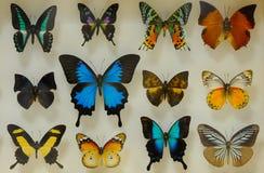 μπλε κόκκινο συλλογής πεταλούδων πεταλούδων κιβωτίων Στοκ Εικόνα