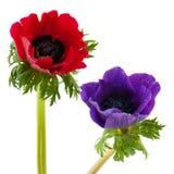 μπλε κόκκινο anemone Στοκ Εικόνες