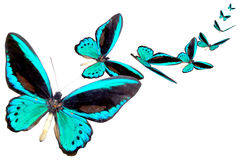 μπλε λαμπρή πεταλούδα Στοκ Φωτογραφίες