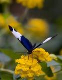 μπλε λευκό πεταλούδων Στοκ φωτογραφίες με δικαίωμα ελεύθερης χρήσης