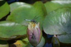 Μπλε λιβελλούλη που σκαρφαλώνει στο ρόδινο Lotus στην ανατολή Στοκ Φωτογραφίες