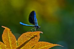 μπλε λιβελλούλη Στοκ Εικόνα