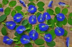 Μπλε λουλούδια αμπέλων πεταλούδων με τα πράσινα φύλλα Στοκ Φωτογραφίες