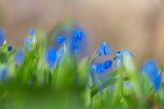 Μπλε λουλούδια κουδουνιών άνοιξη κινηματογραφήσεων σε πρώτο πλάνο Στοκ Φωτογραφία