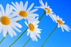 μπλε λουλούδια μαργαρ&iot Στοκ εικόνα με δικαίωμα ελεύθερης χρήσης