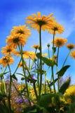 μπλε λουλούδια πέρα από τον ουρανό Στοκ Εικόνες