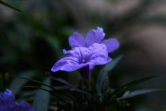 Μπλε λουλούδια που είναι ανθίζοντας στοκ εικόνες