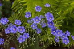 Μπλε λουλούδια σε ένα πράσινο υπόβαθρο Όμορφα λουλούδια του μπλε λινού στοκ φωτογραφία με δικαίωμα ελεύθερης χρήσης