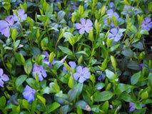 Μπλε λουλούδια στο θερινό υπόβαθρο κήπων στοκ εικόνες με δικαίωμα ελεύθερης χρήσης