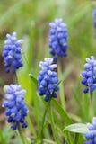 Μπλε λουλούδια στο πεδίο Στοκ Εικόνες