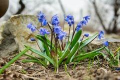 Μπλε λουλούδια την πρώιμη άνοιξη Στοκ Εικόνες