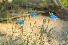 Μπλε λουλούδια των κτύπων αέρα σε ένα θολωμένο υπόβαθρο μια ηλιόλουστη ημέρα Στοκ εικόνα με δικαίωμα ελεύθερης χρήσης