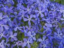 μπλε λουλούδια Στοκ εικόνα με δικαίωμα ελεύθερης χρήσης