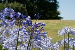 μπλε λουλούδια agapanthus Στοκ Φωτογραφία