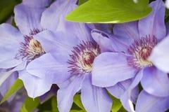 μπλε λουλούδια clematis Στοκ φωτογραφία με δικαίωμα ελεύθερης χρήσης
