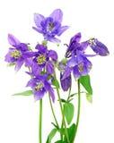 μπλε λουλούδια columbine ανθο&d Στοκ εικόνα με δικαίωμα ελεύθερης χρήσης