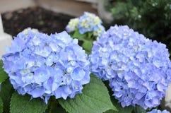 Μπλε λουλούδια hydrangea Στοκ φωτογραφία με δικαίωμα ελεύθερης χρήσης