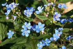 Μπλε λουλούδια macrophylla Brunnera στοκ εικόνες