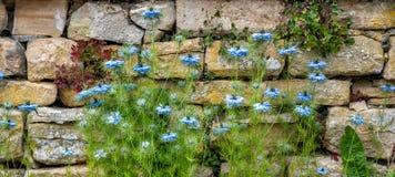 Μπλε λουλούδια, Nigella sativa, σε ένα κλίμα τοίχων ξηρών πετρών στοκ φωτογραφίες