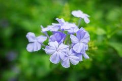 Μπλε λουλούδια Plumbaginaceae στον κήπο Στοκ Φωτογραφίες