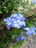 Μπλε λουλούδια plumbago Στοκ εικόνα με δικαίωμα ελεύθερης χρήσης