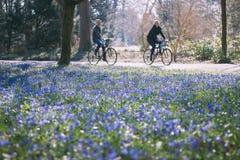 Μπλε λουλούδια Scilla Στοκ Εικόνα