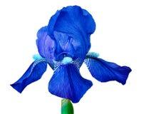 Μπλε λουλούδι ίριδων που απομονώνεται σε ένα άσπρο υπόβαθρο Κινηματογράφηση σε πρώτο πλάνο Οφθαλμός λουλουδιών σε έναν πράσινο μί Στοκ εικόνα με δικαίωμα ελεύθερης χρήσης