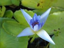 Μπλε λουλούδι λωτού στοκ φωτογραφίες