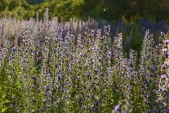 μπλε λουλούδι πεδίων Στοκ Φωτογραφίες