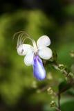 Μπλε λουλούδι πεταλούδων Στοκ Εικόνες