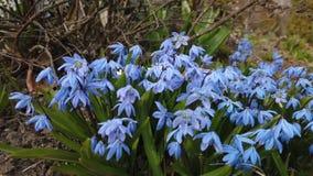 Μπλε λουλούδι στο χτύπημα κήπων από τον αέρα απόθεμα βίντεο