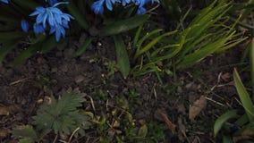 Μπλε λουλούδι στο χτύπημα κήπων από τον αέρα φιλμ μικρού μήκους