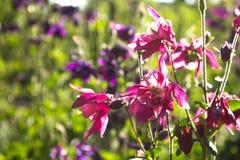 Μπλε λουλούδι του ευρωπαϊκού columbine aquilegia vulgaris κλείστε επάνω Στοκ Εικόνες