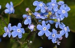 Μπλε λουλούδι Bergenia Στοκ Φωτογραφίες