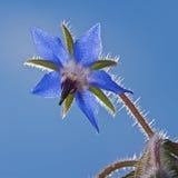Μπλε λουλούδι Borago Στοκ εικόνες με δικαίωμα ελεύθερης χρήσης