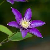 Μπλε λουλούδι Clematis Στοκ Εικόνες