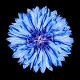 μπλε λουλούδι cyanus centaurea cornflower Στοκ Φωτογραφία