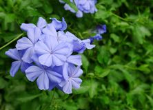 Μπλε λουλούδι Plumbago κινηματογραφήσεων σε πρώτο πλάνο Στοκ φωτογραφίες με δικαίωμα ελεύθερης χρήσης