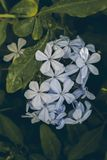 Μπλε λουλούδι plumbago στο πράσινο υπόβαθρο φύλλων Plumbago Auriculata Κλείστε επάνω την άποψη του μπλε λουλουδιού plumbago λουλο Στοκ φωτογραφία με δικαίωμα ελεύθερης χρήσης